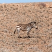 Mountain Zebra at Sossusvlei, Namibia