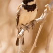 Male Sociable Weaver Bird, Namibia