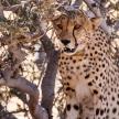 Cheetah in Sossusvlei, Namibia