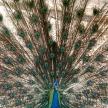 Peacock - Singapore Zoo, Singapore