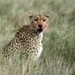 Cheetah - Serengeti, Africa