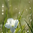 Morning Dew and White Flower, Africa