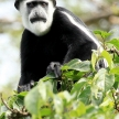 Black and White Colobus - Bigodi Wetlands - Uganda, Africa