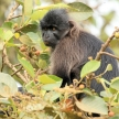 Grey-Cheeked Mangabey - Bigodi Wetlands - Uganda, Africa