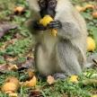 Vervet Monkey - Uganda, Africa