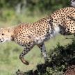Cheetah - Maasai Mara Reserve - Kenya
