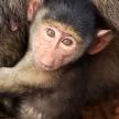 Baby Baboon - Kenya