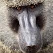 Baboon - Kenya