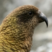 Kea Bird (Mountain Parrot) - Franz Josef Glacier, New Zealand