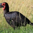 Ground Hornbill - Kenya