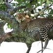 Leopard in Tree - Kenya