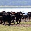 Buffalo Herd - Kenya