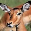 Impala - Kenya