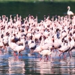 Pink Flamingoes - Lake Nukuru Nature Reserve - Kenya
