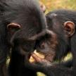 Chimpanzee - Uganda