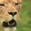 Lion - African Wildlife