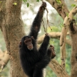 Chimps - African Wildlife