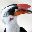 Hornbill. Tanzania, Africa