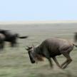 Wildebeest - Serengeti Safari, Tanzania, Africa