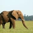 African Elephant, Tanzania, Africa
