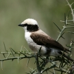 Northern White-crowned Shrike, Africa