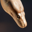 Python - Kakadu National Park, Australia