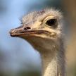 Ostrich - Uganda, Africa