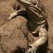 Lizard - Tanzania, Africa