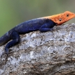 Red Headed Agama Lizard - Uganda, Africa