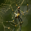Spider - Khao Sok N.P.