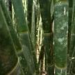 Bamboo - Khao Sok N.P.
