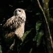 Owl - Night Safari, Singapore